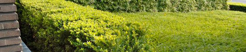 Japanische Stechpalme 'Blondie' online kaufen bei Heckenpflanzendirekt.de