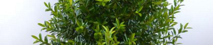 Japanische Stechpalme 'Blondie' pflegen und schneiden