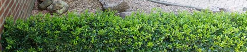 Japanische Stechpalme 'Convexa': ein vollwertiger Buchsbaum-Ersatz