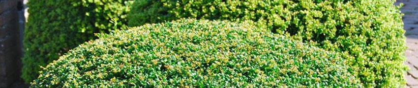 Japanische Stechpalme 'Convexa' bei Heckenpflanzendirekt.de
