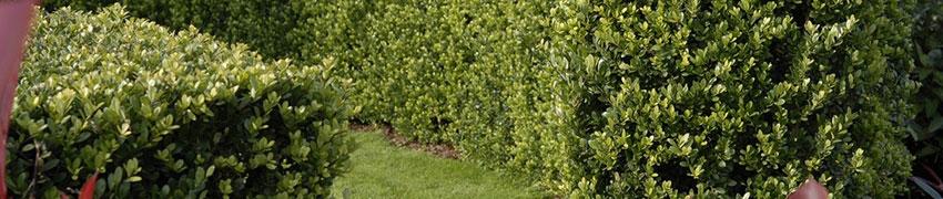 Japanische Stechpalme 'Dark Green': ein beliebter Buchsbaum-Ersatz