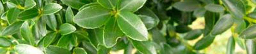 Japanische Stechpalme 'Kanehirae': Pflege und Schnitt