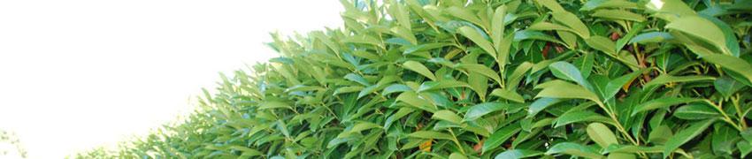 Kirschlorbeer 'Caucasica' pflegen