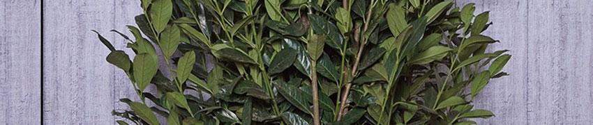 Kirschlorbeer Elly'® pflanzen und pflegen