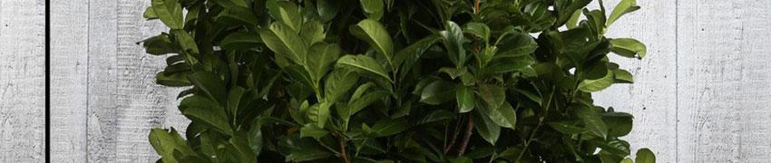 Kirschlorbeer 'Etna' online kaufen