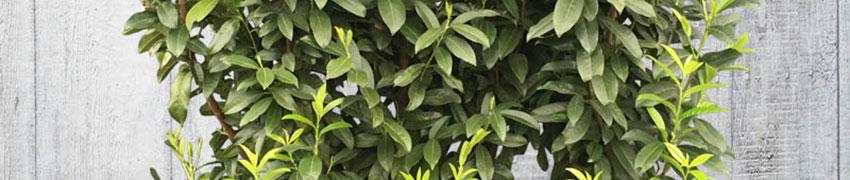 Wie kann der Kirschlorbeer 'Genolia'® am besten wachsen?