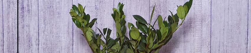 Kirschlorbeer 'Mano' online kaufen