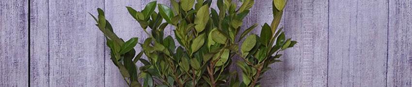 Kirschlorbeer 'Mano' pflanzen und pflegen
