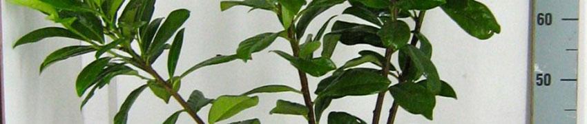 Zierliche, schnellwüchsige Kirschlorbeer-Hecke