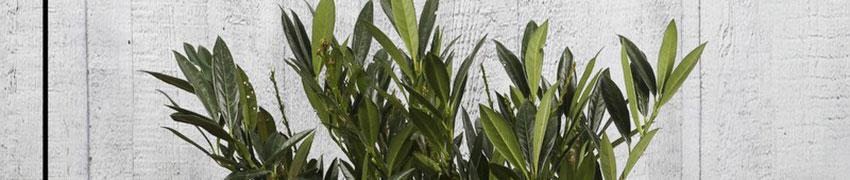 Kirschlorbeer 'Otto Luyken' online kaufen