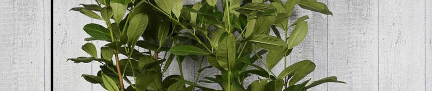 Kirschlorbeer 'Rotundifolia' online kaufen