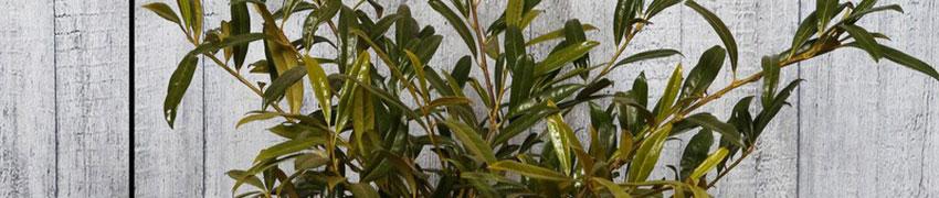 Den Kirschlorbeer 'Zabeliana' richtig pflegen