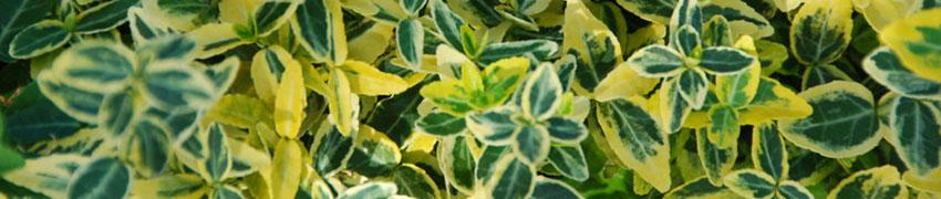 Kriechspindel als Heckenpflanze