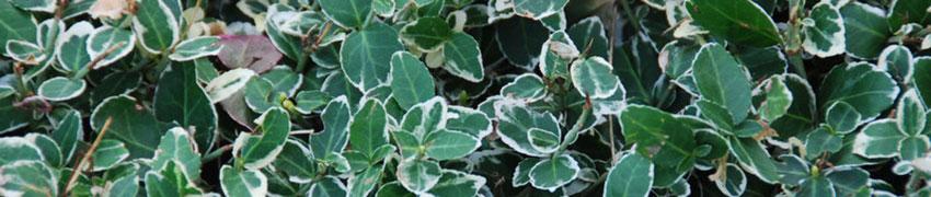 Kriechspindel 'Emerald' n Gaiety' als Heckenpflanze