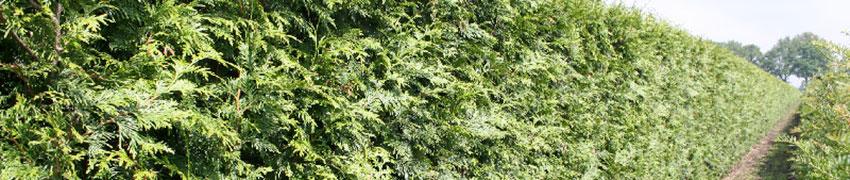 Der Lebensbaum als Heckenpflanze