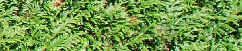 Der Lebensbaum 'Atrovirens' als Heckenpfalnze