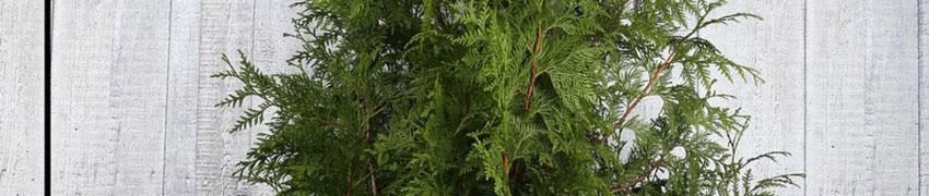 Den Lebensbaum 'Atrovirens' online bestellen