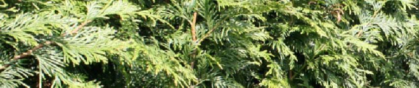 Der Lebensbaum 'Excelsa' als Heckenpflanze