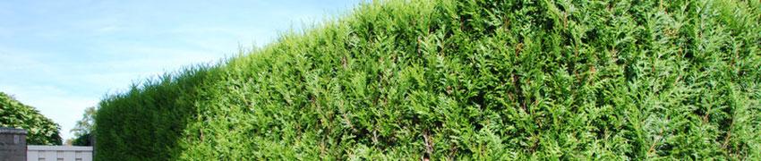 Der Lebensbaum 'Martin' als Heckenpflanze
