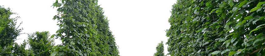 Frisch formierte Spalierbäume bestellen