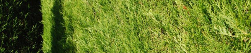 Leyland-Zypressen kaufen