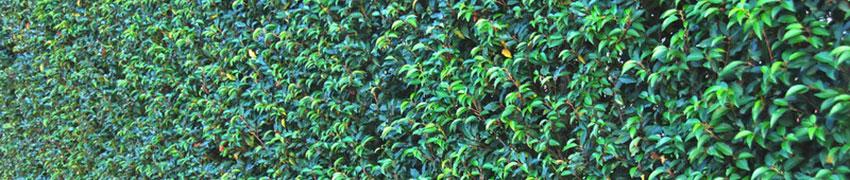 Luxuriöse, winterharte Kirschlorbeer-Hecke