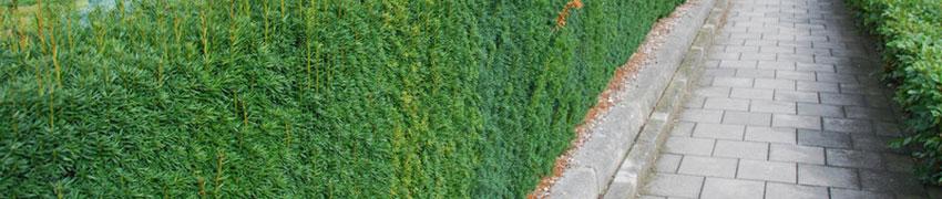 Nicht-fruchtende Becher–Eibe im Garten