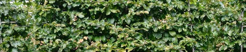 Online vorgezogene Spalierbäume