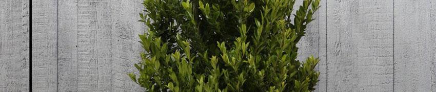 Pflege von Buchsbaum-Alternative Ilex crenata 'Convexa'