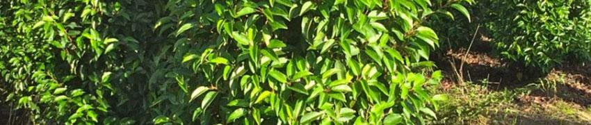 Portugiesischen Kirschlorbeer online kaufen