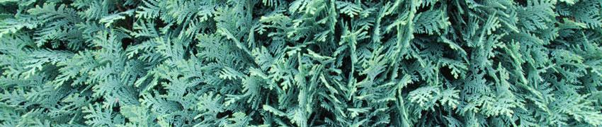 Die Scheinzypresse als Heckenpflanze