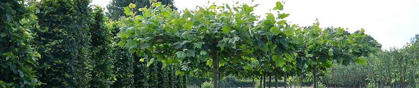 Spalierbäume in Dachform Online-Bestellung