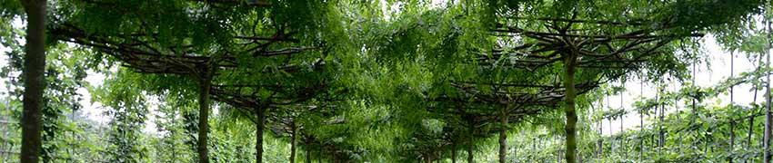 Spalierbäume in Dachform vorgezogen