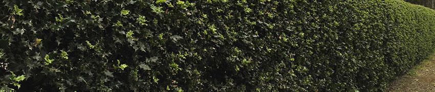 Stechpalmen als Heckenpflanze