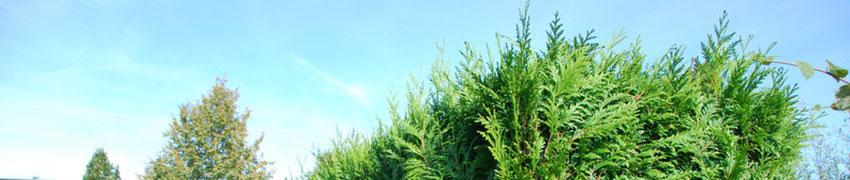 Thuja Brabant als Heckenpflanze
