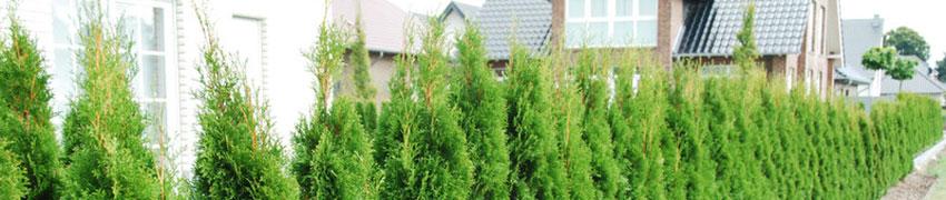 Thuja Smaragd als Heckenpflanze