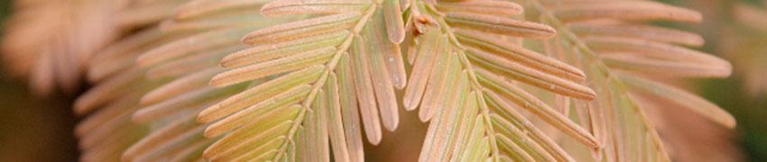 Urweltmammutbaum als Heckenpflanze