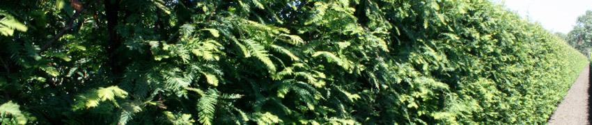 Urweltmammutbaum kaufen bei Heckenpflanzendirekt.de