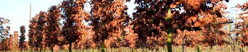 Vorgezogene Bäume in Spalierform bestellen