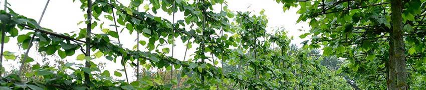 Vorgezogene Spalierbäume mit Etagen online
