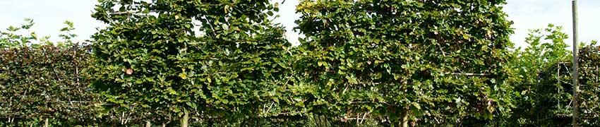 Vorgezogene Spalierbäume direkt aus der Baumschule