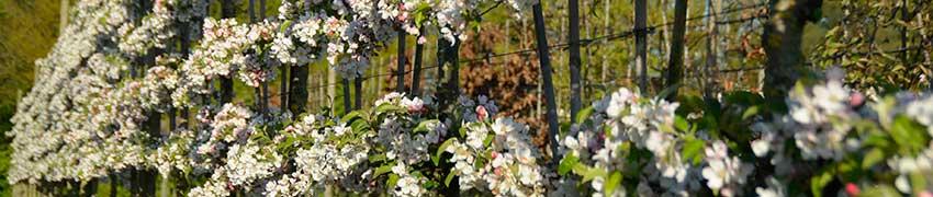 Vorgezogene Spalierbäume mit Etagen