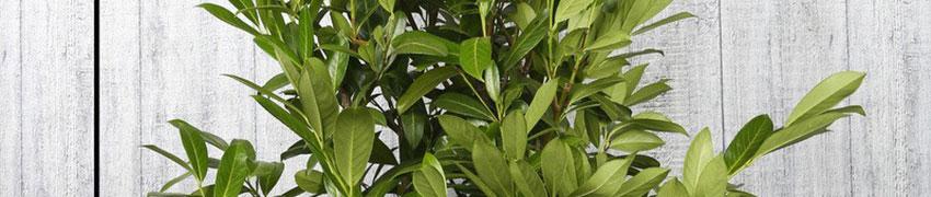 Wissenswertes über den Kirschlorbeer 'Caucasica'