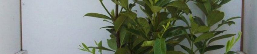 Kirschlorbeer 'Novita' online kaufen