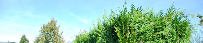 Lebensbäume kaufen bei Heckenpflanzendirekt.de