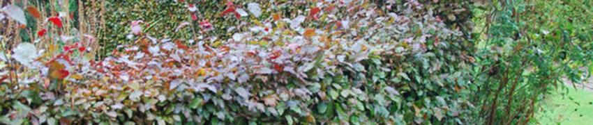 Buchenhecke im Garten