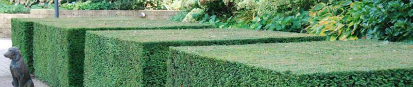 Eibenhecke in Ihrem Garten