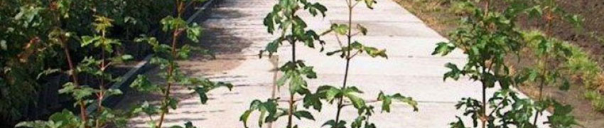 Feldahorn im Garten