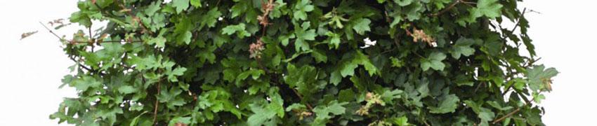 Feldahorn kaufen bei Heckenpflanzendirekt.de