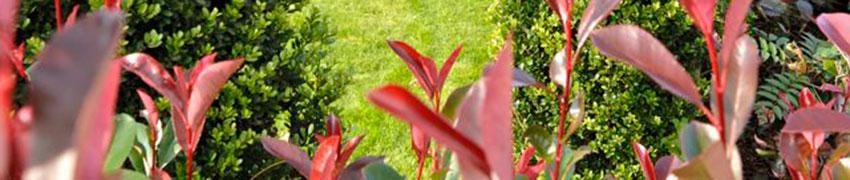 Immergrüne Heckenpflanzen im Garten